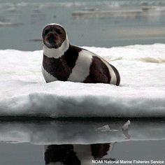 Ribbon Seal......with a natural hat
