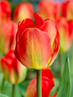 Tulip Red Alert