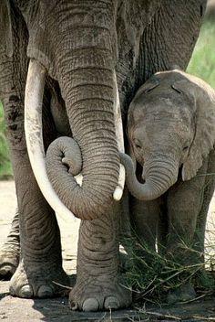 Elephant Mother & Calf - African elephant by Douglas Aja