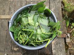 Blogg om gjødselvann: av bokashi og av brennesle Bokashi, Lettuce, Celery, Cabbage, Flora, Vegetables, Compost, Cabbages, Plants