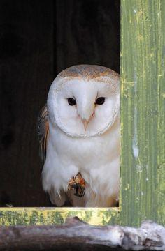 Barn Owl (Tyto alba) in Nest Box at The Butterfly House, Sheffield | Flickr: Intercambio de fotos