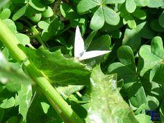 Mariposa blanca en el trebol