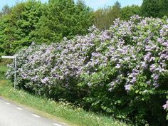 hedge of lilac