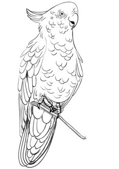 Rose Breasted Cockatoo Coloring Page From Cockatoos Category Select 30465 Printable Crafts Of Cartoons Nature Animals Bible And Many More