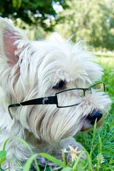 Smart Westie Nyta | Cutest Paw