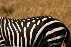 He was spotted in Kenya by wildlife photographer Paul Goldstein who says in all his 25 years in Africa, he has never seen a zebra with such an unusual coat. Rare Horse Breeds, Rare Horses, Photo To Art, Horse World, Kenya, Animal Kingdom, Mammals, Cute Animals, Wildlife