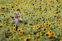 Lyman Orchards in Middlefield opened its annual sunflower maze Saturday. The maze, spread over 3 acres, is cut in the shape of a train as part of Lyman's 275 anniversary celebration. One dollar of every ticket sale is donated to Connecticut Children's Medical Center. The maze, with about 350,000...