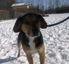 Trooper Beagle & Hound Mix • Adult • Male • Medium Allen County Dog Control Lima, OH. Apx 3 years old  neutered