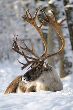 reindeer - Wish I was taking his pictures - then I would be in the snow with him. CARIBOU---NOT reindeer. Reindeer do NOT have antlers this large. Beautiful Creatures, Animals Beautiful, Cute Animals, Arctic Animals, Wild Animals, Baby Animals, Photo Animaliere, Tier Fotos, Mundo Animal