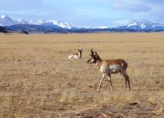 Pronghorn Antelope in South Park, CO