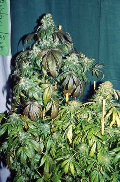 S.A.G.E Regular Seeds - 10 by the cannabis breeder T.H. Seeds, is a Photoperiod Regular marijuana strain. These seeds germinate in 10-11 Weeks in November.This Regular seed grows well in Greenhouse, Indoors conditions.This strain has Haze x Afghani Genetics. It has a Very High (over 20%) THC Content. The CBD content of the strain is Unknown.