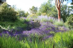 I would follow this path anywhere...  Spanish Lavender, Russian Sage, Switch Grass and Hakone Grass.