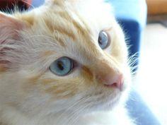 Ragdoll cats   Top 15 most cutest cat breeds