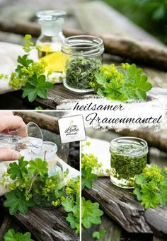 Lady& mantle - the protective lady& herb + tincture & oil Hydroponic Farming, Hydroponics, Permaculture, Growing Plants, Growing Vegetables, Herbs Indoors, Plantar, Medicinal Herbs, Natural Cosmetics