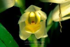 Maxillaria camaridii