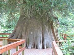 This is a 3000 year old Cedar tree not far from Elk River, ID. It's hard to imagine, but it's been around 1000 years before Jesus was born. The park is so nice and it is accessable to those who are in wheelchairs as well as those who aren't. There are a series of paved paths and other hiking trails. There is even a nice maintained bathroom (no running water). It's a nice drive for a sunny day after all of their snow melts!!