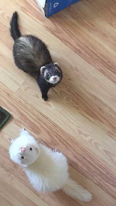 Memorializing 11 Passed Away Ferrets Yin yang Baby Ferrets, Funny Ferrets, Pet Ferret, Cute Little Animals, Cute Funny Animals, Cute Dogs, Long Cat, Otter, Pets
