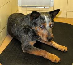 Magoo is an adoptable Australian Cattle Dog (Blue Heeler) Dog in Ulster, PA. Magoo is an older adult neutered male Heeler. He is blind, very quiet, and appears to be house trained. Stray from Rome. Po...