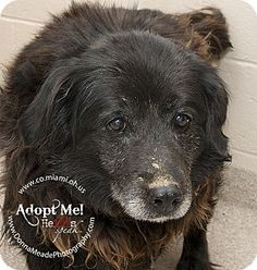 VERY URGENT!  I am at a kill shelter in Troy, OH - Australian Shepherd/Border Collie Mix. Meet Shirley a Dog for Adoption.