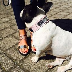Such a fashionista :) #dogswalkleather #pjays #frenchbulldog #dog #cute #dogcollar #hundehalsband #frenchy www.pjays.de