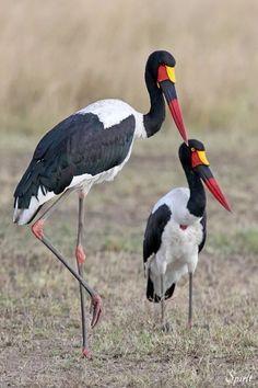 Saddle-billed Stork ~ South Africa ❤️