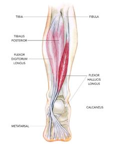 The Flexor Hallucis Longus Ankle Anatomy, Foot Anatomy, Human Body Anatomy, Human Anatomy And Physiology, Muscle Anatomy, Muscle Belly, Massage Therapy, Physical Therapy, Injury Prevention