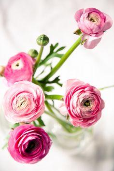 pink ranunculus…