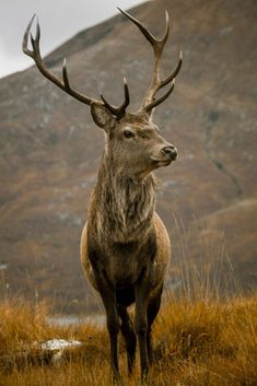 """Red Deer Stag"" by Derek Beattie"