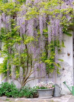 Wisteria vine...I hope ours grows this large....it's beautiful!!