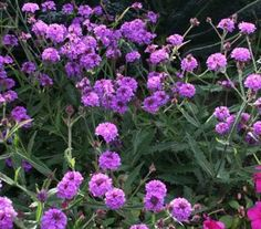 Verbena Venosa mid spring to late autumn Magenta Flowers, Tall Flowers, Hardy Perennials, Hardy Plants, Verbena, Easy Care Plants, Border Plants, Plant Images, Annual Flowers