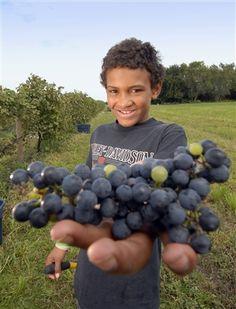 Picking grapes at Shade Vineyard in Volga, South Dakota.