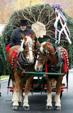 scott-harmon-with-karry-and-dempsey-4.jpg Belgian Horse Team delivering Christmas Tree during Bush Administration...