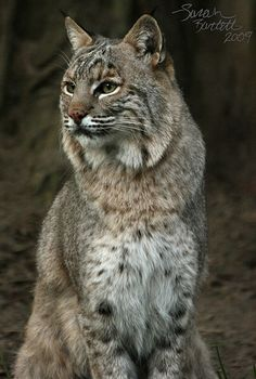 awesome Bobcat Daydreams pictures images