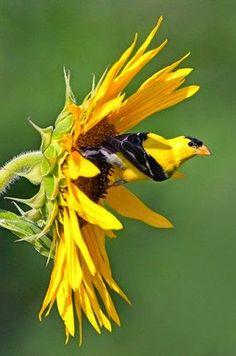 Bird Feeding: American Goldfinch on a sunflower....