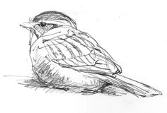 Chippingsparrowsmall BIRDS OF NORTH AMERICA SKETCHES