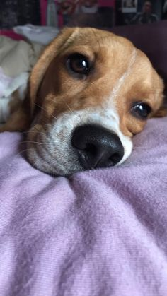 Dreaming of snacks #Beagle