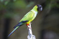 Black hooded parakeet. - Black hooded parakeet in the Pantanal.