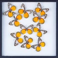 Tropical Framed Butterfly Display SetG16 Double by BugsDirect, £98.75