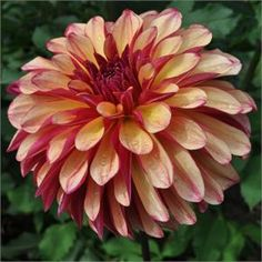 "Gitts Crazy, from Swan Island Dahlias:  7"" blooms  SPECTACULAR!!"