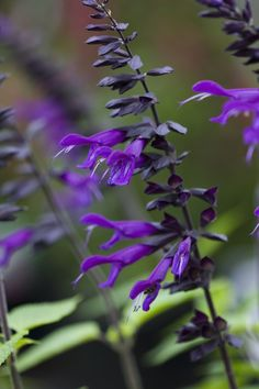 Salvia 'Amistad' - stunning colour from May to November (one of the 'must have' plants seen at a village Open Gardens at the week-end. It will look stunning against my sage painted fences) Purple Garden, Love Garden, Dream Garden, Amazing Gardens, Beautiful Gardens, Beautiful Flowers, Salvia, Landscape Design, Garden Design