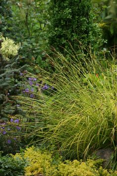 Carex elata 'Aurea' BOWLE'S GOLDEN SEDGE GPP 3' x 3', well behaved and will not self sow, tolerant of full sun to partial shade