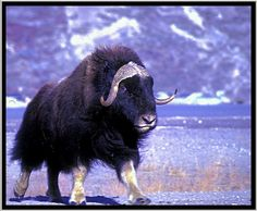The muskox (Ovibos moschatus, musk ox) is an Arctic mammal of the family Bovidae, noted for its thick coat and for the strong odor emitted by males, from which its name derives. This musky odor is used to attract females during mating season. Muskoxen primarily live in the Canadian Arctic and Greenland,with small introduced populations in Sweden, Siberia, Norway, and Alaska.  Muskox in Greenland