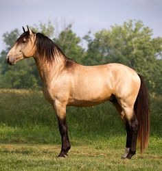 One of my favorite colors in my favorite breed.  This is Conquistador, a Lusitano stallion.  1.26.12