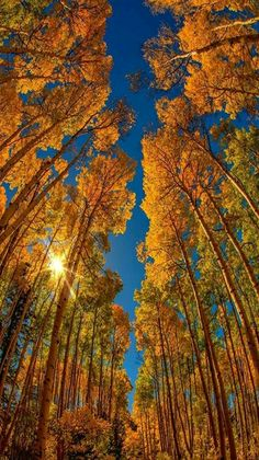 Autumn - Aspen trees in Telluride, Colorado.