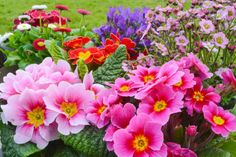 Perennial Alpine Outdoor Flowers - 6 or 12!