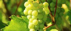 Wien, 2016-03-03 – Im Jahr 2015 (Stichtag 30. November) wurden laut Statistik Austria 2,3Mio.hl Wein geerntet, um 13% mehr als im mengenschwachen Jahr 2014. Die Weinernte lag damit leicht (+2%) über…