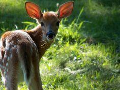 Deer & Elk on Pinterest | Deer, Baby Deer and White Tailed ...