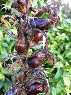 LEICESTERSHIRE AND RUTLAND GARDENS TRUST: Wordless Wednesday- seeds