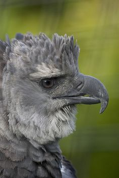 Harpy eagle by Official San Diego Zoo, via Flickr