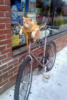 Fat cat on a bike...too funny. I'm amazed he likes to ride let alone waiting for his master. Wish my cats would do this.